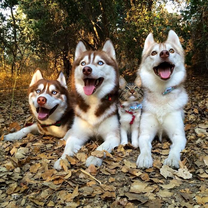 Amistad-3-huskies-y-gato-04-696x696