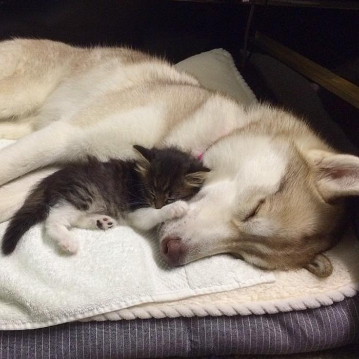 Amistad-3-huskies-y-gato-15-1