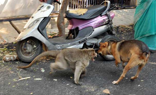 mono-adopta-cachorrito-erode-india-02 (2)