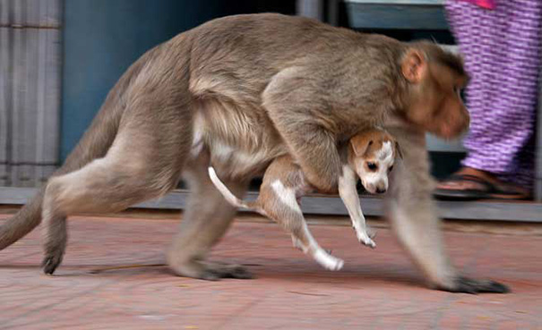 mono-adopta-cachorrito-erode-india-04 (2)