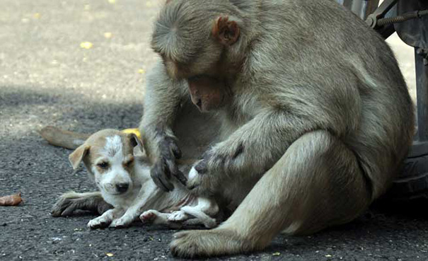 mono-adopta-cachorrito-erode-india-05 (1)