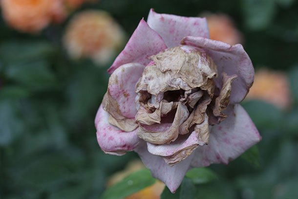 17. This rose is up to no good