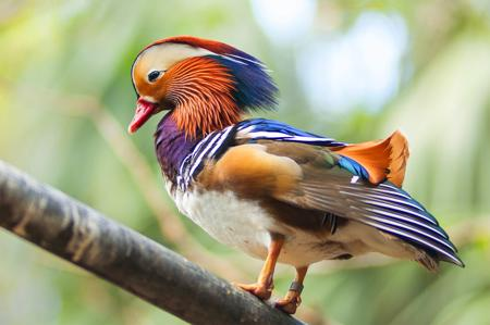 450-178528423-mandarin-duck