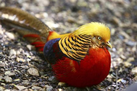 450-186110758-golden-pheasant