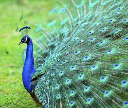 450-459937941-beautiful-peacock