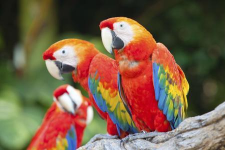 450-468155753-scarlet-macaw