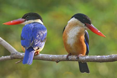 450-470622565-kingfisher-bird