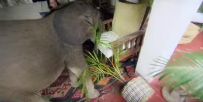 Bebe-elefante-no-se-separa-de-su-salvadora-04-696x350