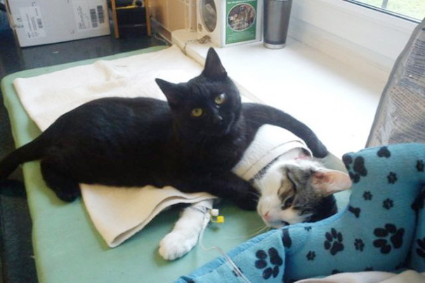 El Gatito enfermero que cuida de otros animalitos.
