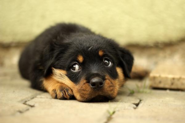 Este Rottweiler está llorando … cuando os enteréis del porque ,vosotros tambien